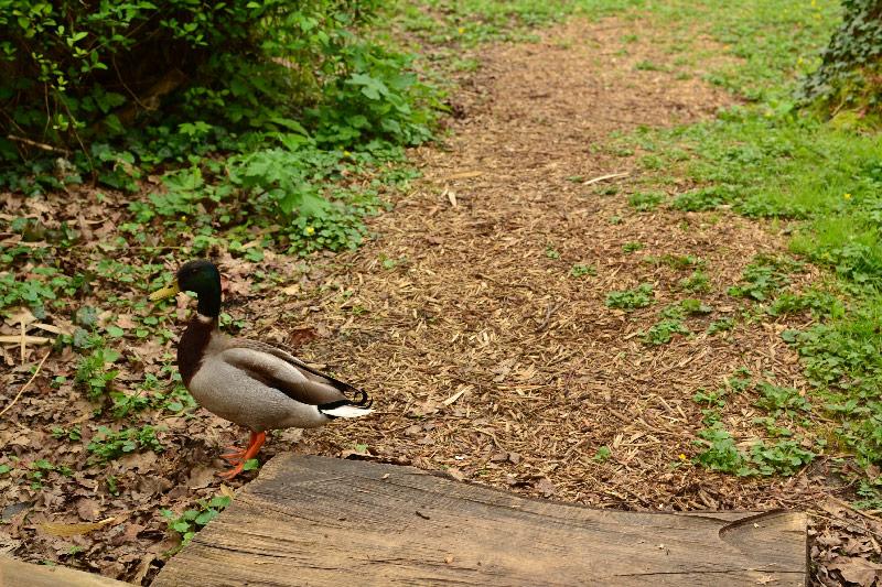 canard sauvage picardie