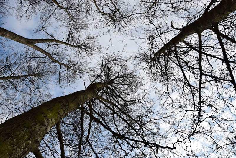 aulne arbre des rivières