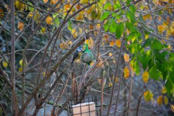 chant des oiseaux mésange bleue