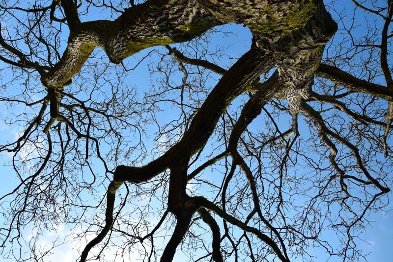 noyer reconnaître les arbres