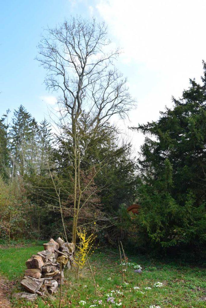 reconnaitre les arbres le frêne pendant votre weekend nature