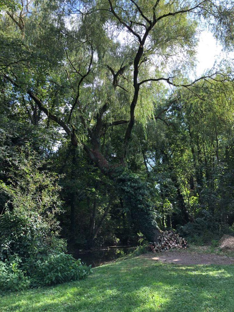 reconnaître les arbres pendant un weekend nature le saule pleureur
