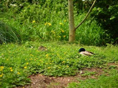 nature-canards
