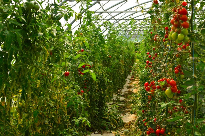serres tomates ferme bio